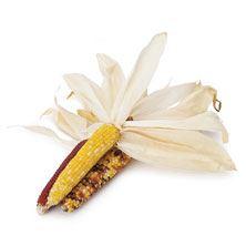 Indian Corn Miniature