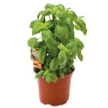 Potted Basil