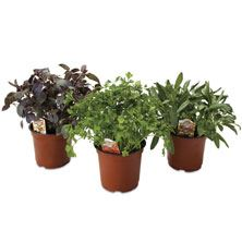 Assorted Potted Herbs 6 Inch